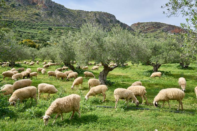 Corderos Càrnia procedentes mayoritariamente de Cataluña y Aragón